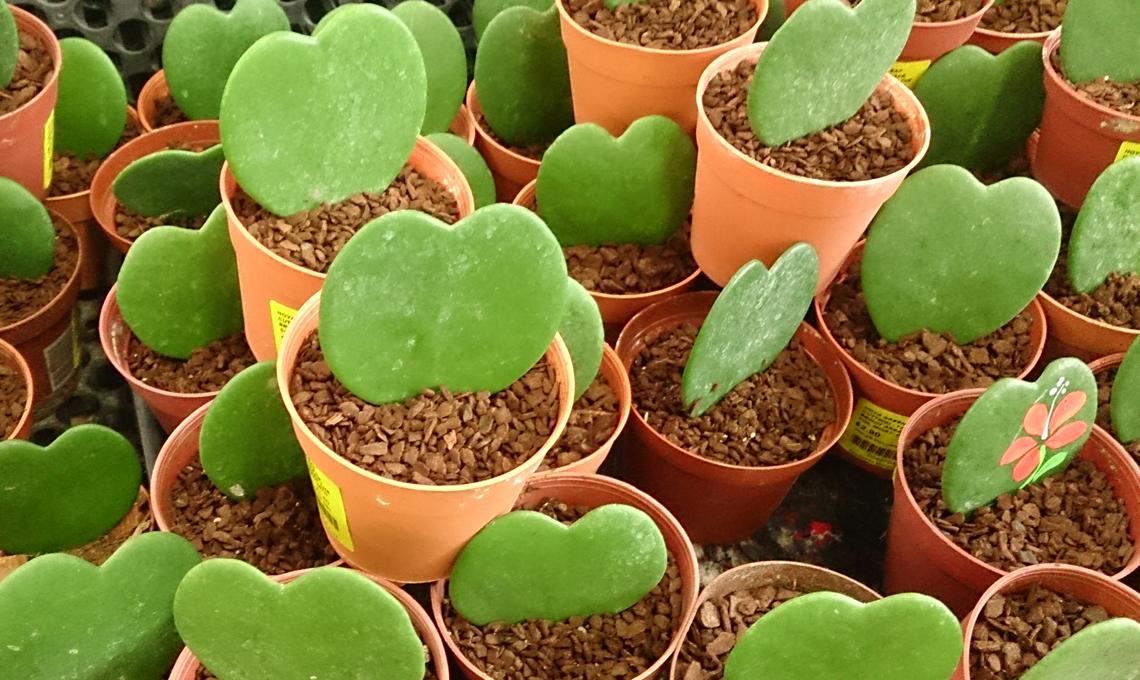piante grasse hoya