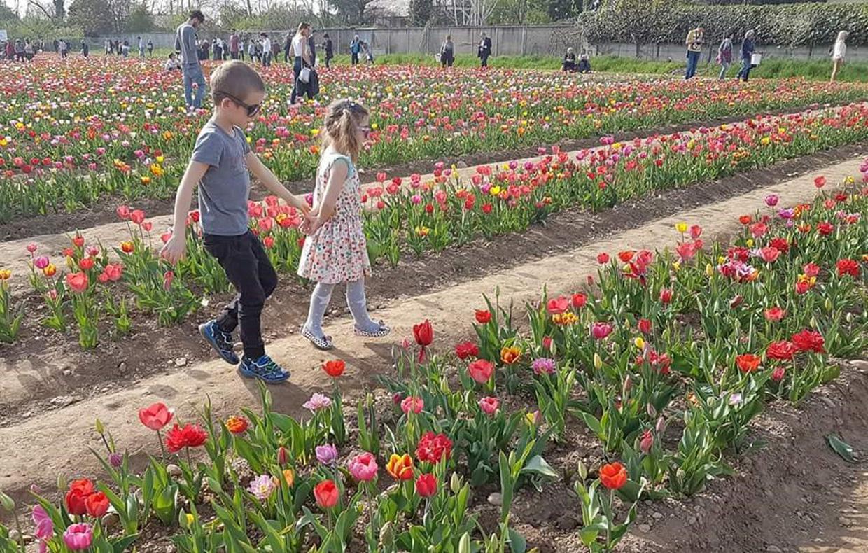 Piante Arredo : Campi di tulipani in italia casafacile