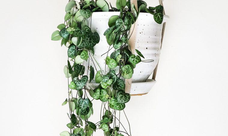 Pianta con le foglie a forma di cuore: la Ceropegia