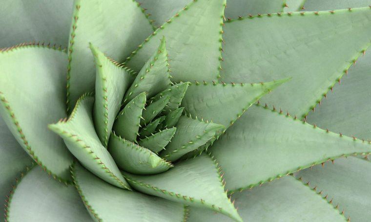 Perché si chiamano piante grasse?
