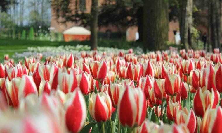 90.000 tulipani in fiore al castello di Pralormo