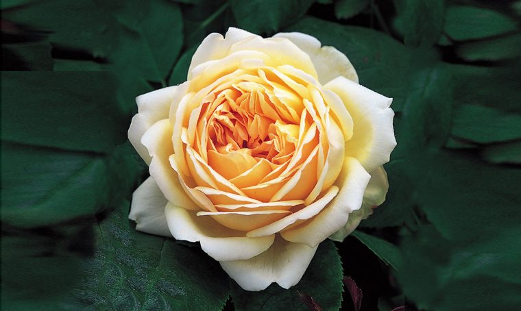 rosa arancione