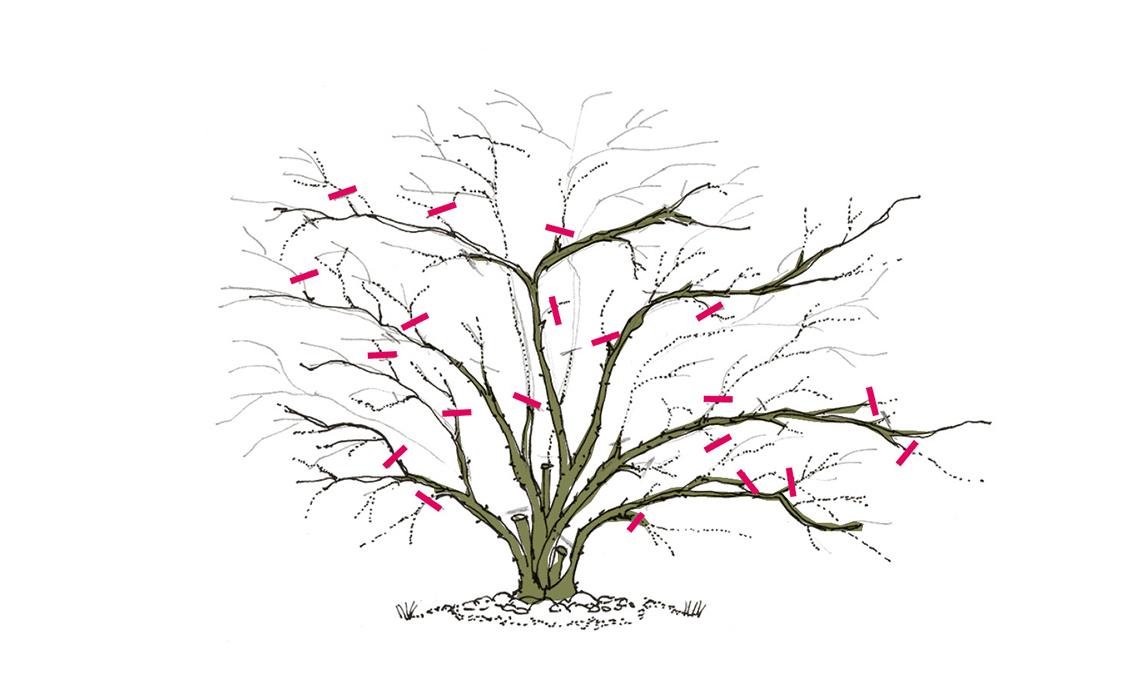 potare rose rampicanti