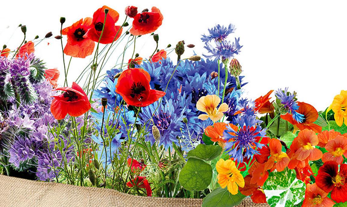 fiori attira farfalle