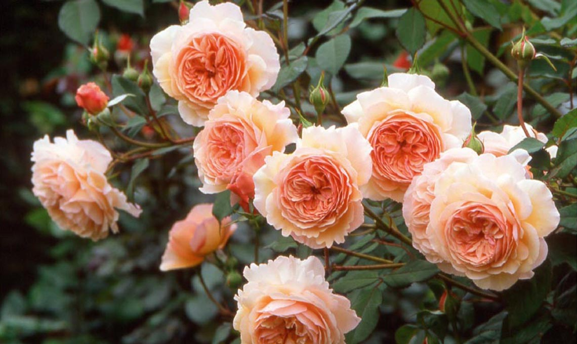funghi rose