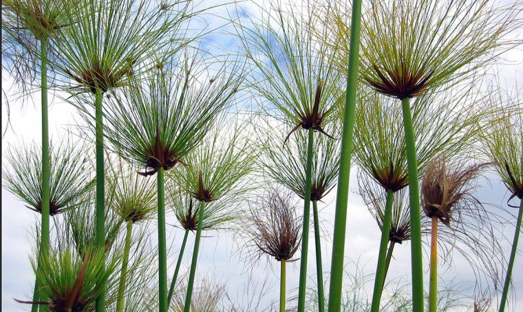 Papiro: come coltivarlo