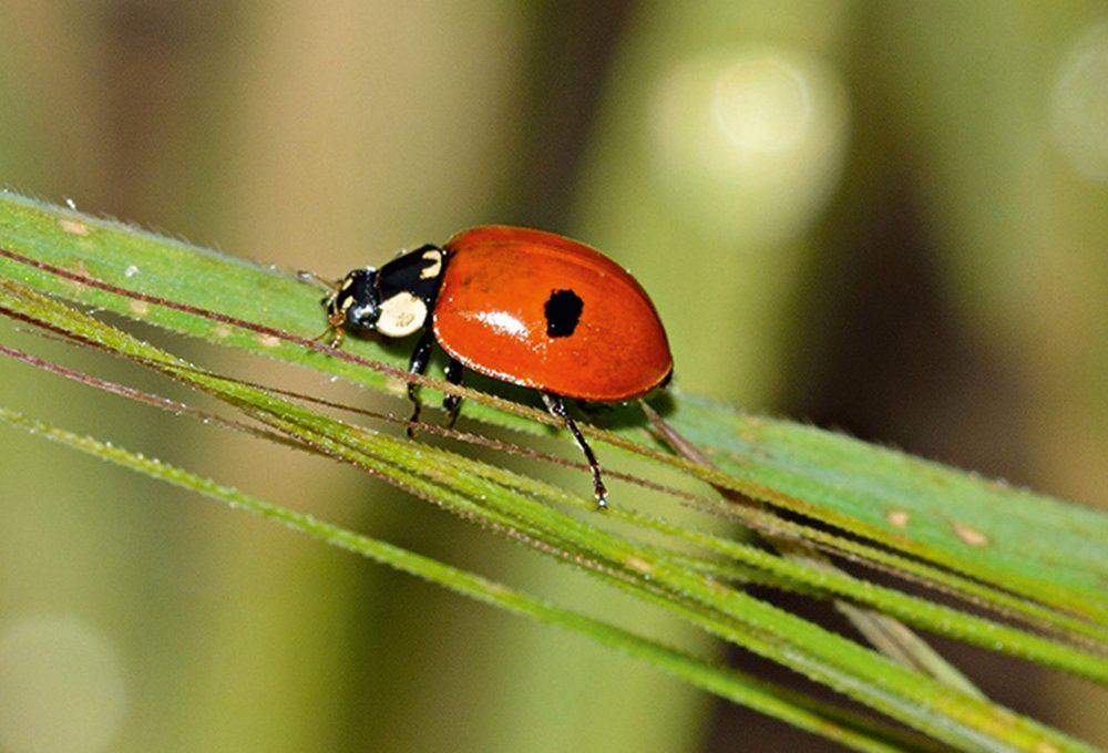 Ricci e coccinelle per tenere lontani insetti e lumache dall'orto