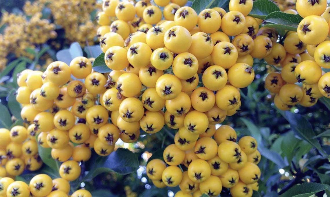 bacche gialle