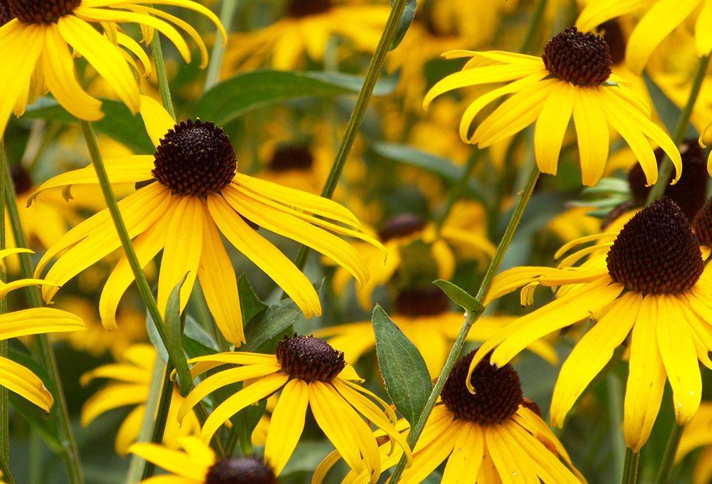 Fiori gialli: quali scegliere e come abbinarli