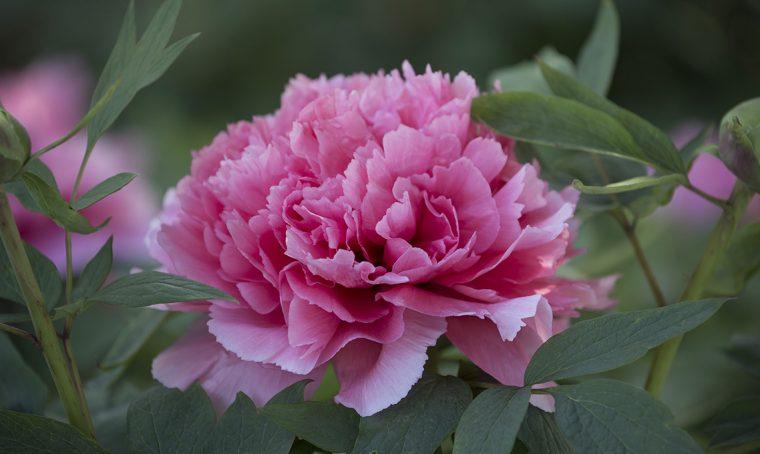 Peonia: il fiore più amato della primavera