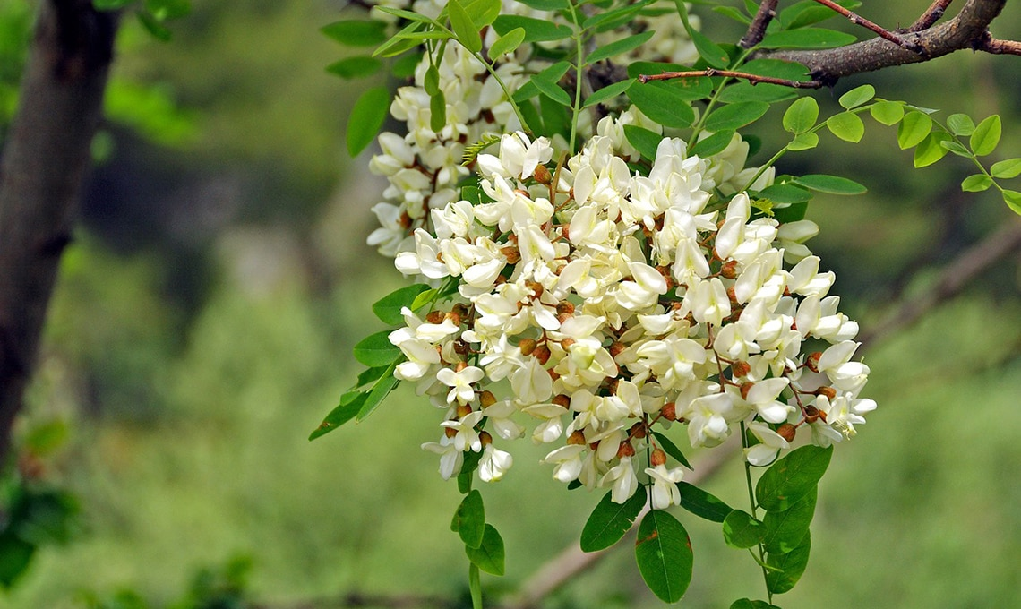 fiori robinia