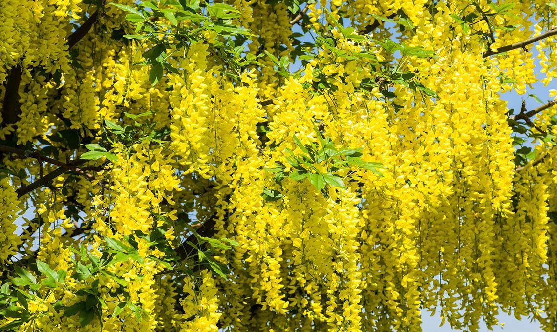 fiori robinia non commestibili