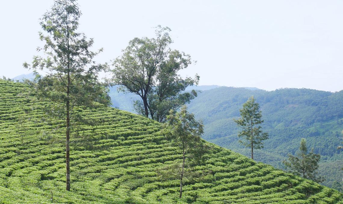 Casafacile MBettinelli segreti perfetta tazza tè piantagione