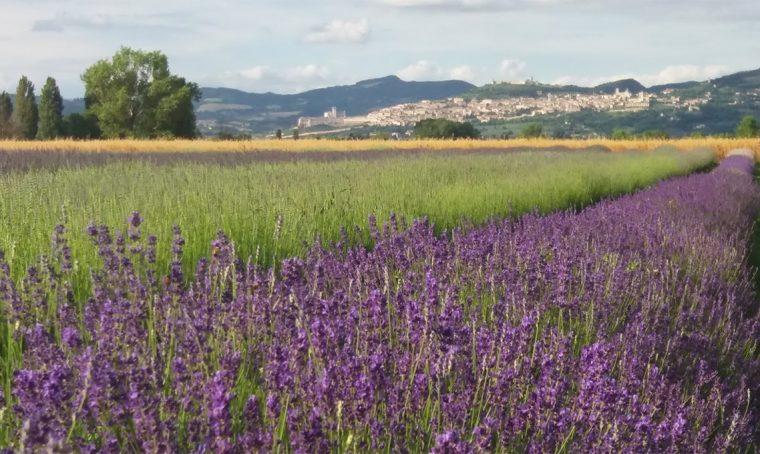 A giugno e luglio 2018 torna la 9ª edizione della Festa della Lavanda ad Assisi