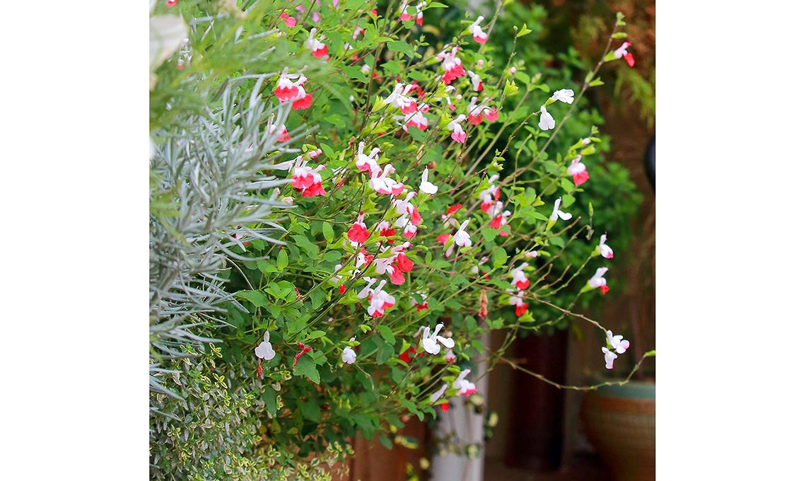 salvia fioritura