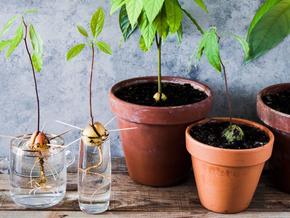 Come far germinare il seme di avocado