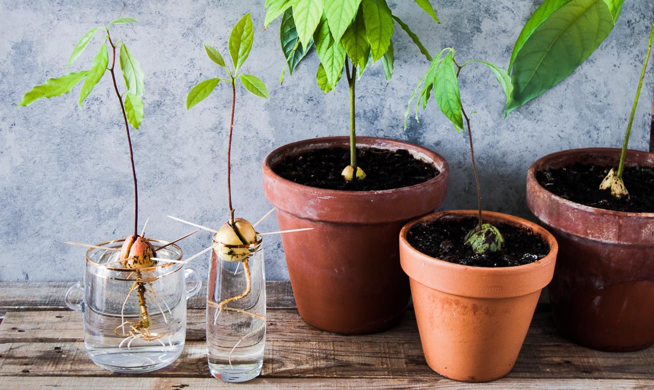 Nocciolo Di Avocado In Acqua come far germinare il seme di avocado - casafacile