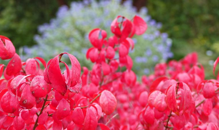 Evonimo alatus: tingi di rosso il tuo giardino