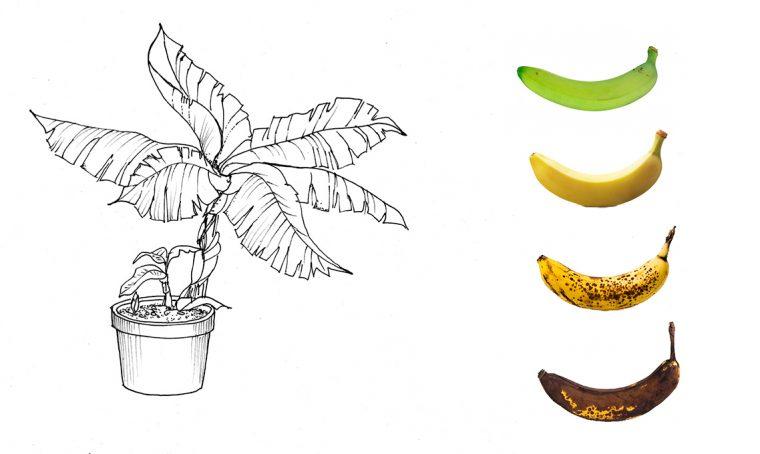 Il banano fai-da-te: come farlo crescere dai semi