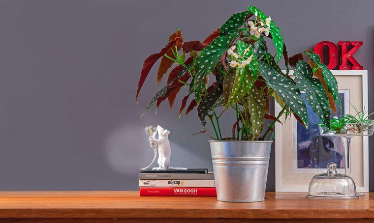 Begonia maculata: come curarla e coltivarla