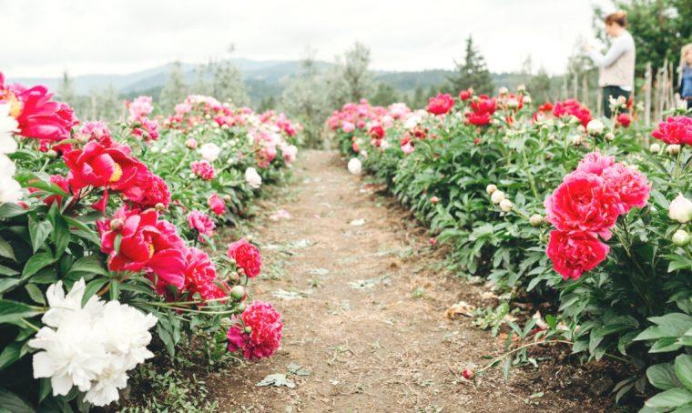 In Chianti a festeggiare la fioritura delle peonie