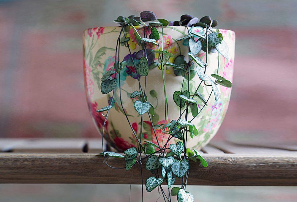 Ceropegia woodii: la pianta dalle foglie a forma di cuore