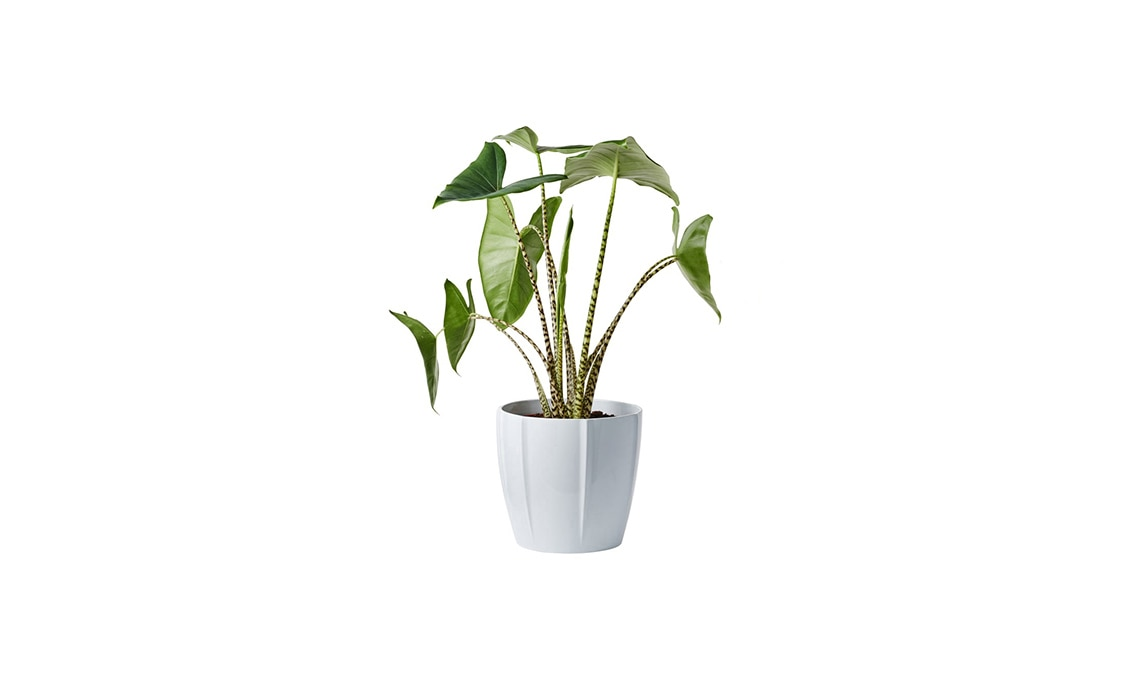piante tropicali