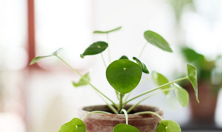 Perché la Pilea peperomioides perde le foglie