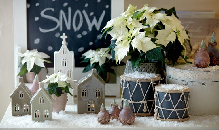 Stelle di Natale belle e rigogliose a lungo